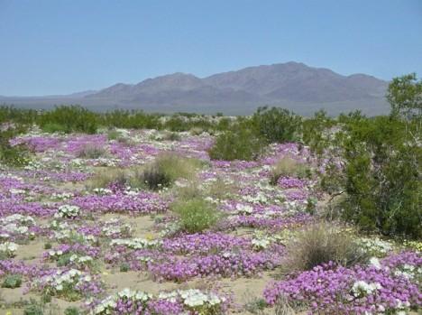 22-Flowering-desert
