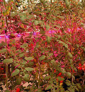 010125141016-led-tomates