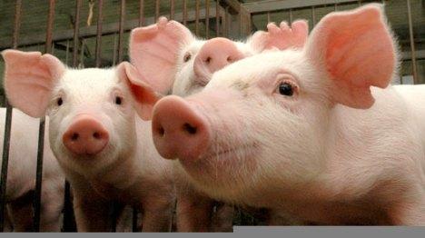porcos2-1429406763916