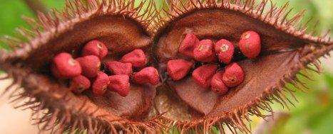Urucum. aditivo alimentar natural pode barrar células cancerígenas